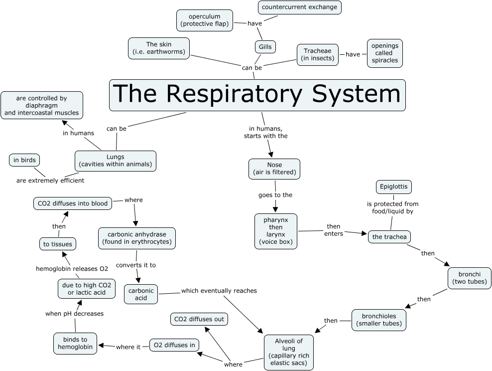 Respiratory system air is filtered goes to the pharynx then larynx voice box gills have countercurrent exchange the respiratory system can be tracheae in insects ccuart Images