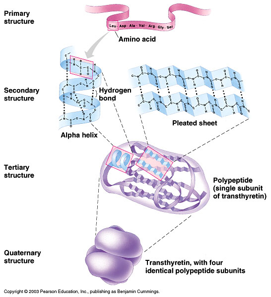 Levels of Protein Structure.jpg