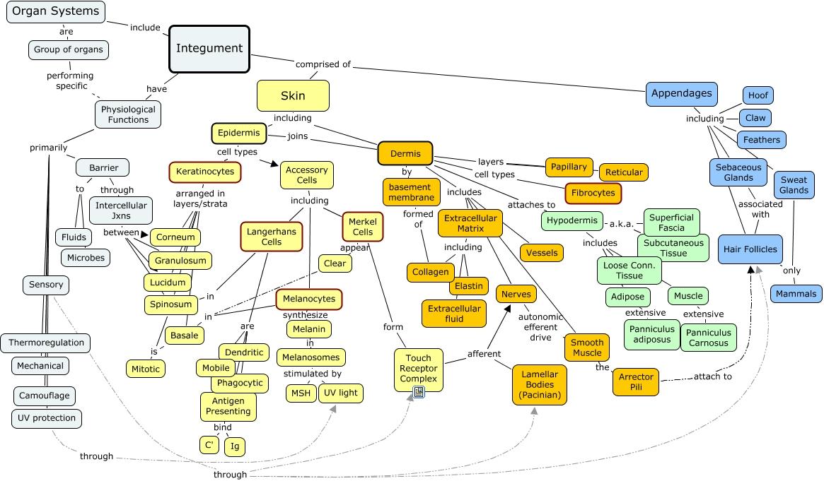 Großartig Integumentary System Organe Zeitgenössisch - Physiologie ...