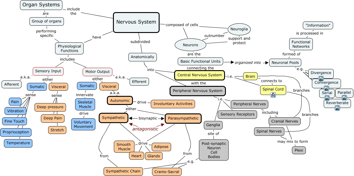 Nervous system organization how is the nervous system organized ccuart Image collections