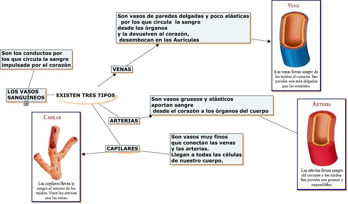 Perfecto Anatomía De Los Vasos Sanguíneos Venas Diagrama Colección ...