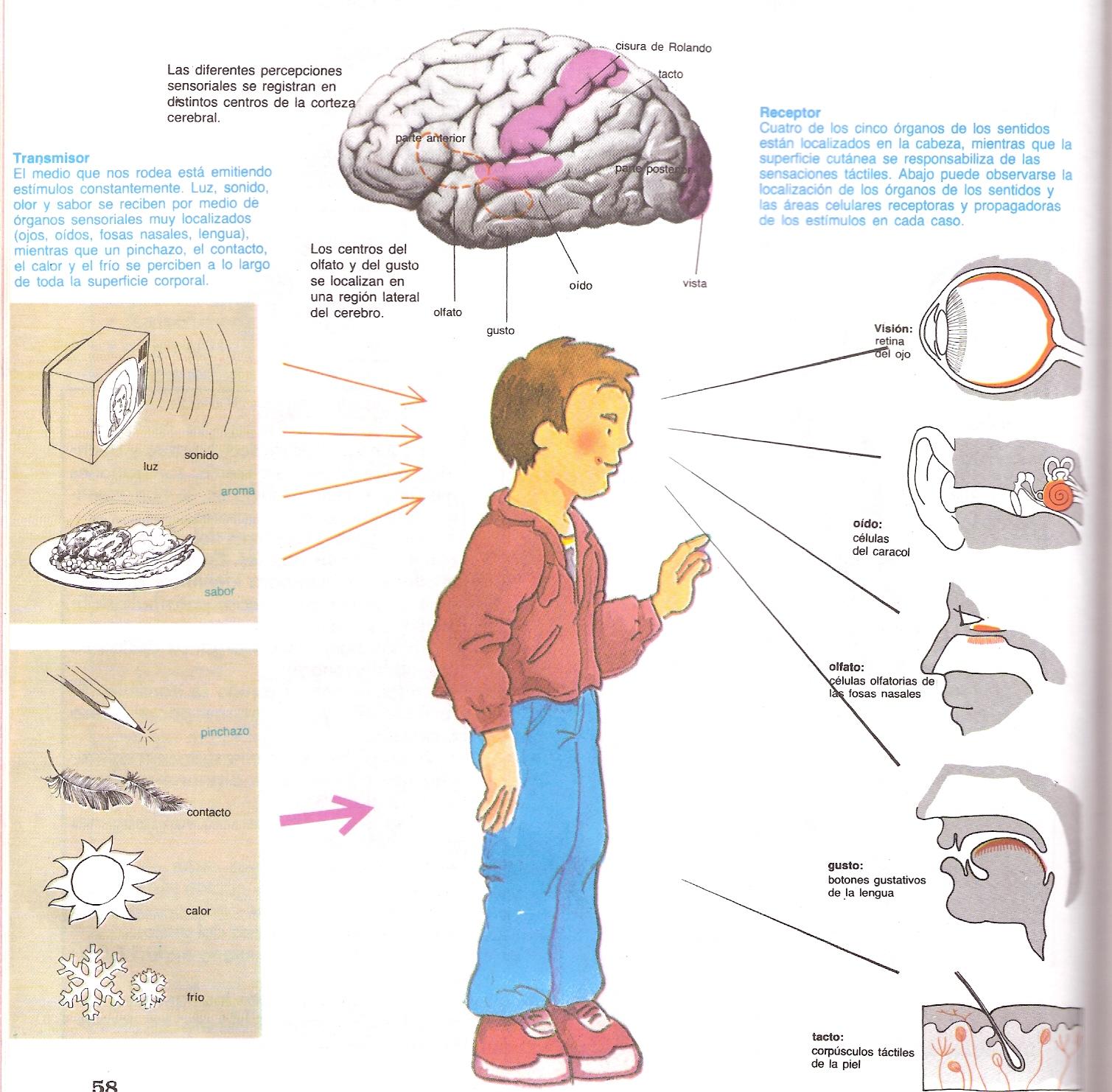 sentido de la vista estan protejidos los organos de los sentidos en ...