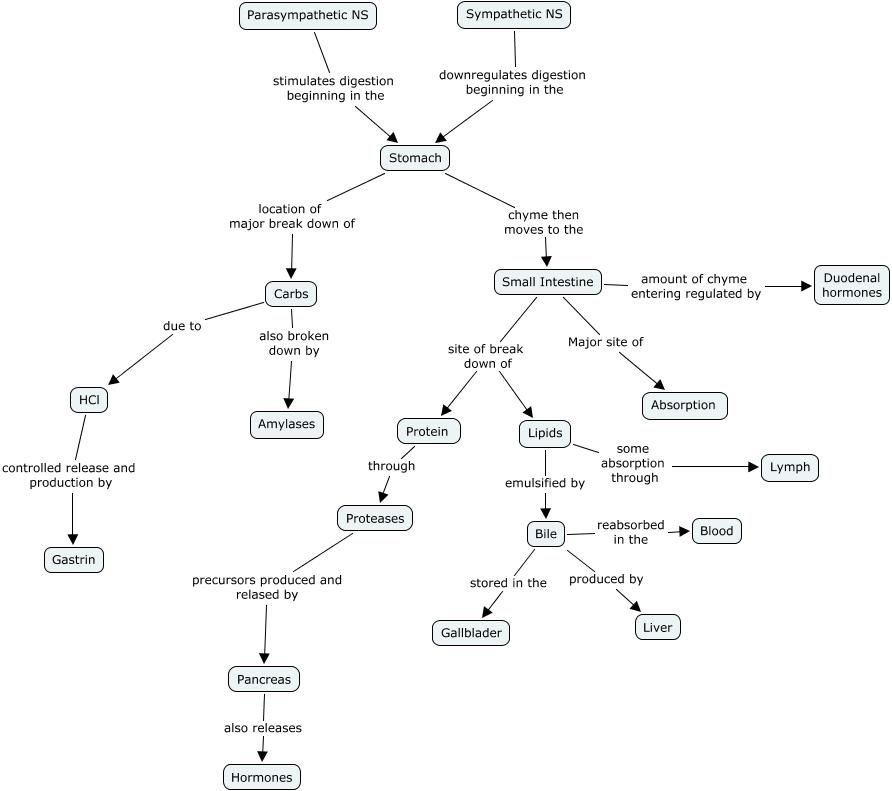 Digestive System Ruelpalmbellamcbridebelai