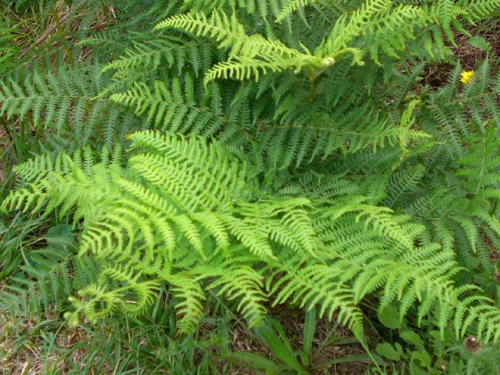 Los grupos de plantas for Estrellitas de jardin planta
