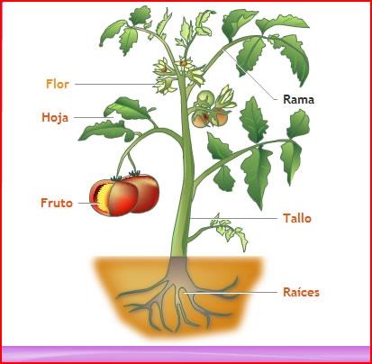 Ihmc public cmaps 3 for Todas las plantas son ornamentales