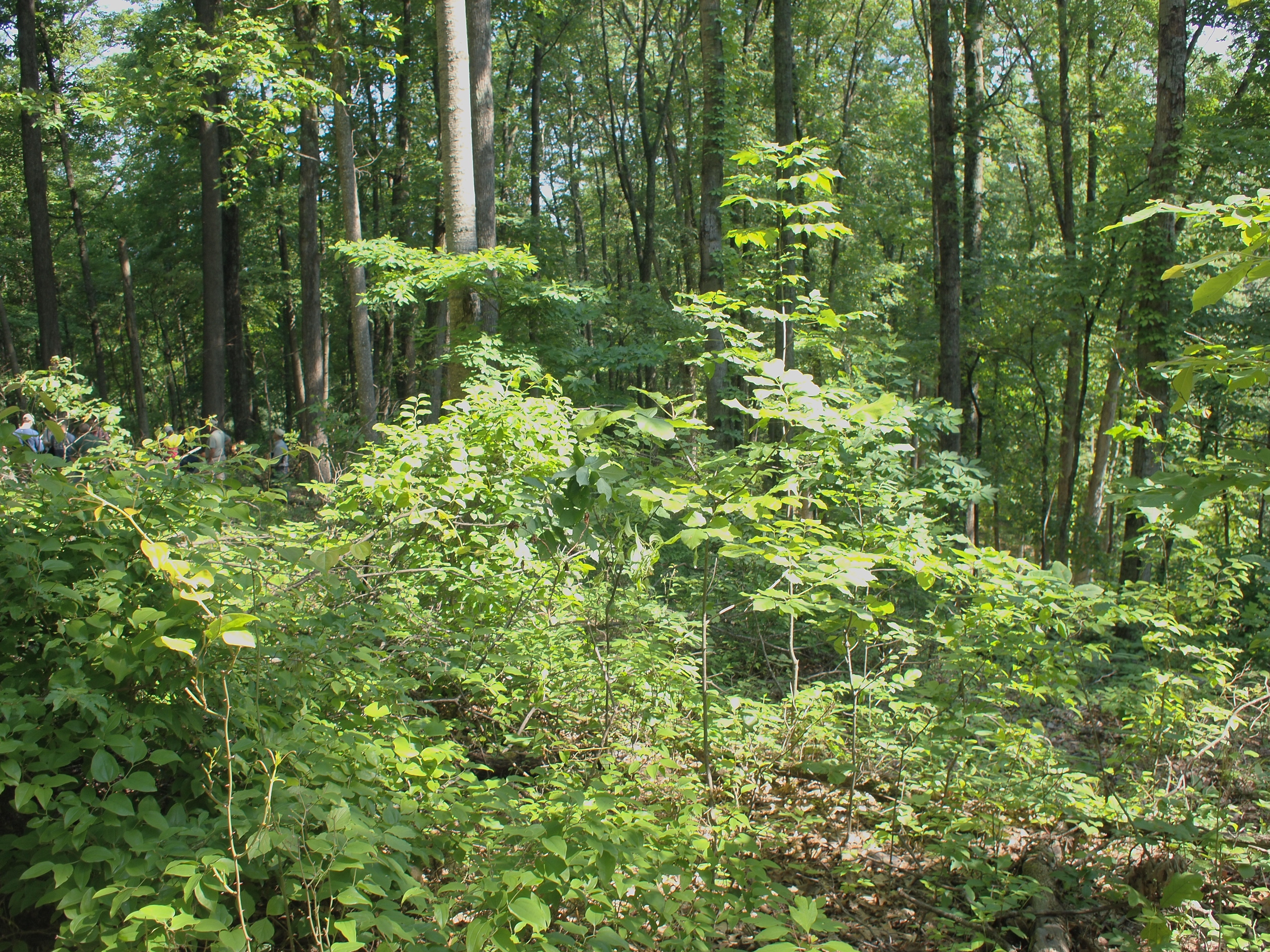 hickory plains mature singles Needle-like or scale-like leaves  branchlets of mature trees  pignut hickory shagbark hickory sweet pignut hickory shagbark hickory.