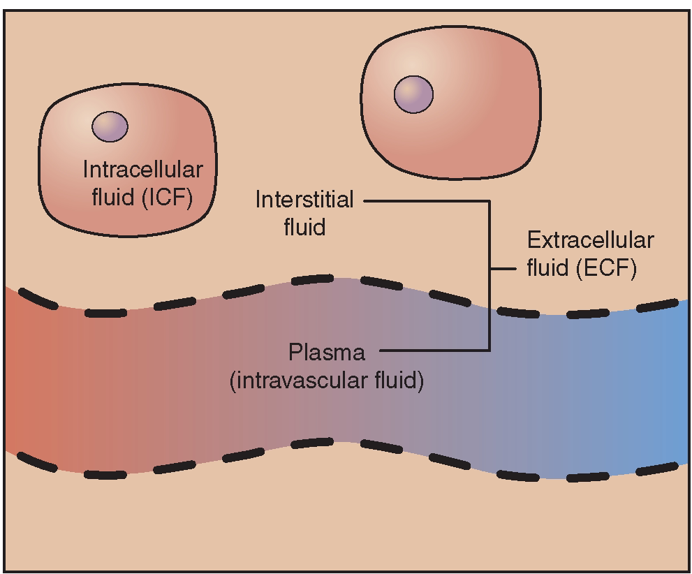 the distribution and constituents of fluids in Interstitial fluid flow is the movement of fluid through the extracellular matrix of tissues, often between blood and lymphatic vessels this flow provides a necessary mechanism for transporting large proteins through the interstitium and constitutes an important component of microcirculation [1.