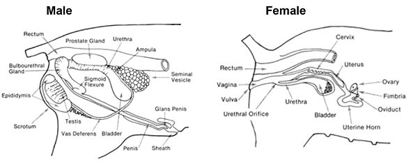 Anatomy Of The Male And Female Pig