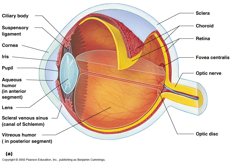 an introduction to the analysis of the eye the organ of sight Eye also has a focusing lens, which focuses images from different distances on the retina the colored ring of the eye, the iris, controls the amount of light the fluid flows from ciliary body to the pupil and is absorbed through the channels in the angle of anterior chamber the delicate balance of aqueous.