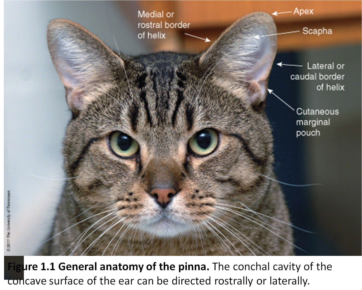 Cats Ear Anatomy