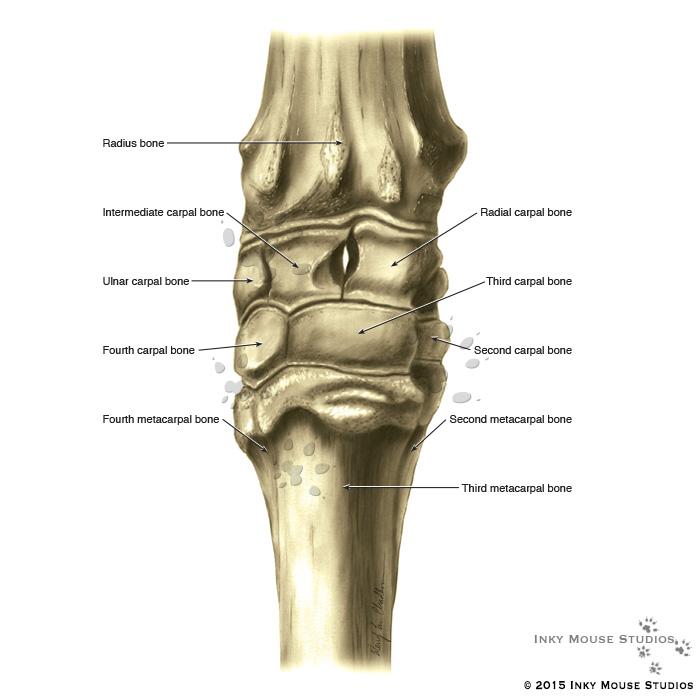 Perfect Horse Leg Anatomy Illustration - Anatomy Ideas - yunoki.info